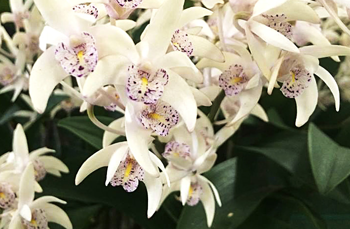Native Orchid Society of Toowoomba Spring Show